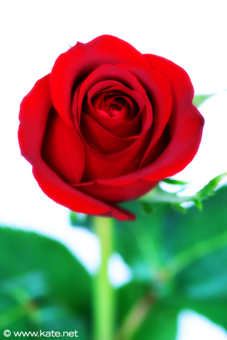 wallpaper roses red. 2011 Red Rose iPhone Wallpaper